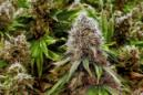 FILE - This Sept. 15, 2015 file photo shows marijuana plants with their buds covered in white crystals at a medical marijuana cultivation center in Albion, Ill. U.S. women are increasingly using marijuana during pregnancy, sometimes to treat morning sickness, new reports suggest. Though the actual numbers are small, the trend raises concerns because of evidence linking the drug with low birth weights and other problems. (AP Photo/Seth Perlman, File)